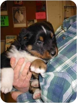 Rottweiler/Border Collie Mix Puppy for adoption in Mansfield, Ohio - Ruger
