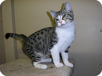 Domestic Mediumhair Cat for adoption in Salem, Oregon - Juliette