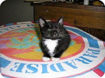 Domestic Shorthair Kitten for adoption in Salem, Oregon - Lexi