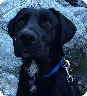 Labrador Retriever Mix Dog for adoption in San Francisco, California - Buddy
