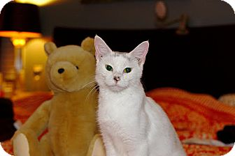 Domestic Shorthair Cat for adoption in Homewood, Alabama - Snowbaby