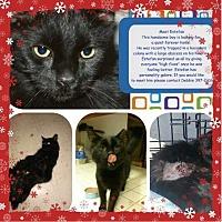 Domestic Mediumhair Cat for adoption in Sacramento, California - Estpan