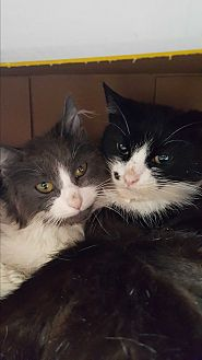 Domestic Shorthair Cat for adoption in Hazlet, New Jersey - Ziggy