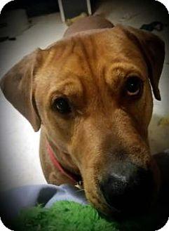 Labrador Retriever Mix Dog for adoption in Toledo, Ohio - Brody