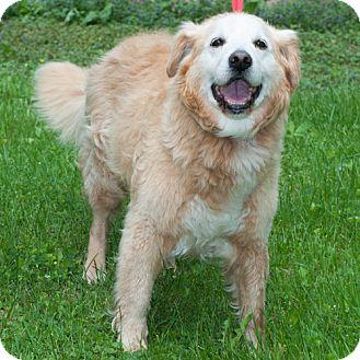 Golden Retriever Mix Dog for adoption in New Martinsville, West Virginia - Frazier