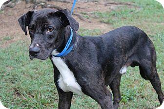 Labrador Retriever/Catahoula Leopard Dog Mix Dog for adoption in Conway, Arkansas - Henson