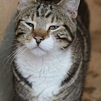 Domestic Shorthair Cat for adoption in Centerton, Arkansas - Felix