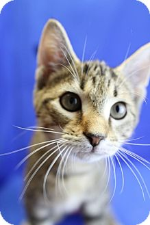 Domestic Shorthair Kitten for adoption in Winston-Salem, North Carolina - Bowie