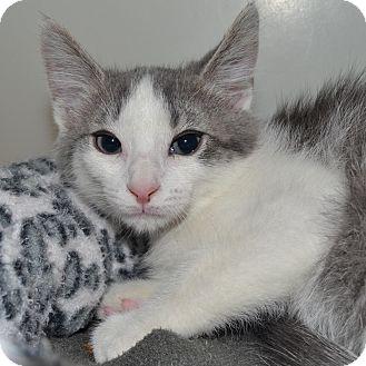 Domestic Shorthair Kitten for adoption in Wheaton, Illinois - Rain