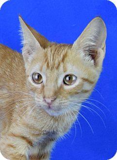 Domestic Shorthair Kitten for adoption in Carencro, Louisiana - Bean