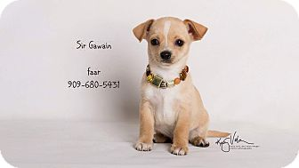Chihuahua Mix Puppy for adoption in Riverside, California - Sir Gawain