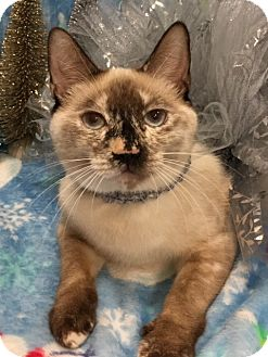 Siamese Cat for adoption in Houston, Texas - Okalani