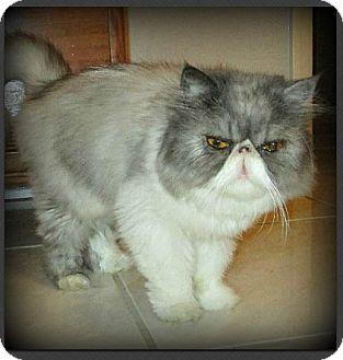 Persian Cat for adoption in Gilbert, Arizona - Itty Bit