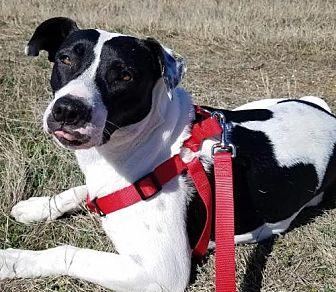 Pointer/Labrador Retriever Mix Dog for adoption in Denton, Texas - Maya