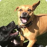 Adopt A Pet :: GIDGET - Okatie, SC
