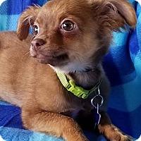 Adopt A Pet :: Pumbaa - San Antonio, TX