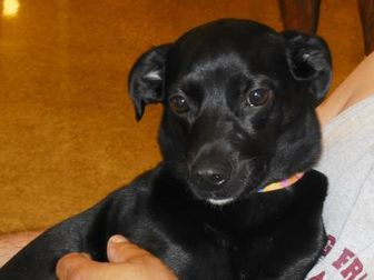 Terrier (Unknown Type, Small) Mix Dog for adoption in Whiting, Indiana - Nox