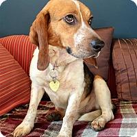Adopt A Pet :: Goose - Fairfax Station, VA