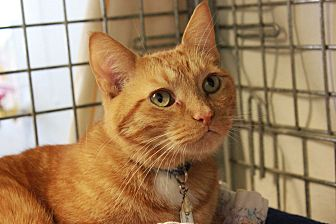 Domestic Shorthair Cat for adoption in New Richmond,, Wisconsin - Buttons Too