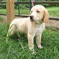 Adopt A Pet :: Ginga - Hartford, CT