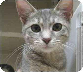 Domestic Shorthair Kitten for adoption in Mesa, Arizona - Hillary