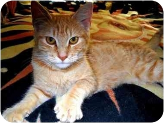 Domestic Shorthair Cat for adoption in Tillamook, Oregon - KK