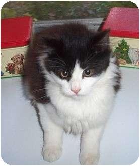 Domestic Mediumhair Kitten for adoption in Columbia, South Carolina - Pumpernickle