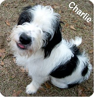 Shih Tzu/Terrier (Unknown Type, Small) Mix Dog for adoption in Ozark, Alabama - Charlie