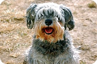 Schnauzer (Miniature) Mix Dog for adoption in Meridian, Idaho - Lizzie