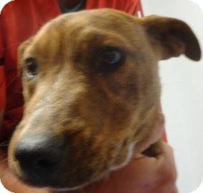 Plott Hound Mix Dog for adoption in Gainesville, Florida - Xena