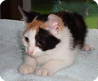 Calico Kitten for adoption in N. Billerica, Massachusetts - Patches