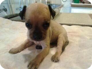 Miniature Pinscher/Pug Mix Puppy for adoption in Chandler, Arizona - Gina