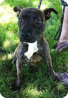 Pit Bull Terrier Mix Puppy for adoption in Schaumburg, Illinois - JJ