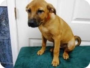 Labrador Retriever/German Shepherd Dog Mix Puppy for adoption in Bartonsville, Pennsylvania - CLAYTON