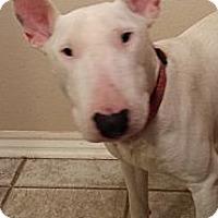 Adopt A Pet :: Billy - Sachse, TX