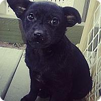 Adopt A Pet :: Jade - Chicago, IL