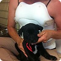 Adopt A Pet :: Red - El Paso, TX