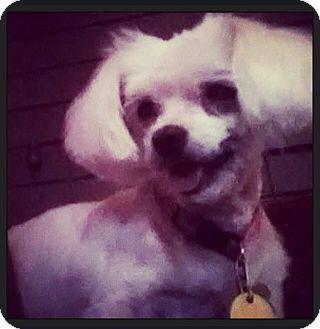 Maltese Mix Dog for adoption in Grand Bay, Alabama - Maggie Mae