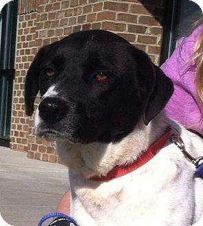 Border Collie/Pointer Mix Dog for adoption in Lincolnton, North Carolina - Levi -