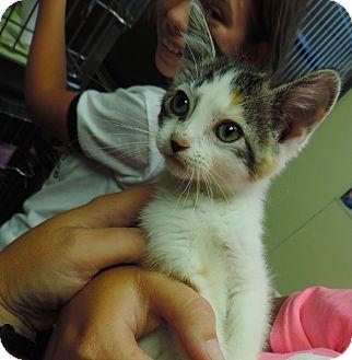 Calico Kitten for adoption in Fremont, Nebraska - Hailey