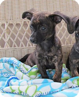 Chihuahua/Scottie, Scottish Terrier Mix Puppy for adoption in Bedminster, New Jersey - HARDY