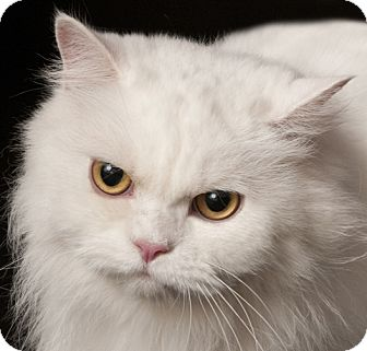 Persian Cat for adoption in Chicago, Illinois - Bianca