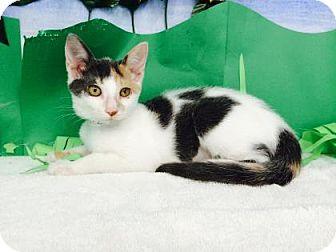 Domestic Shorthair Kitten for adoption in Bradenton, Florida - Gooseberry