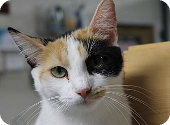 Domestic Shorthair Cat for adoption in Grinnell, Iowa - Marble