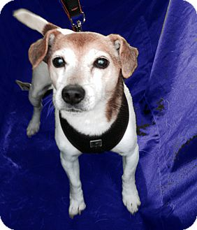 Jack Russell Terrier Mix Dog for adoption in San Francisco, California - Lola Too