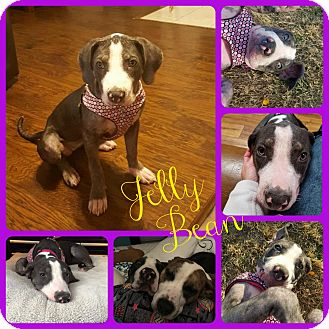 Hound (Unknown Type) Mix Dog for adoption in Ft Worth, Texas - Jelly Bean