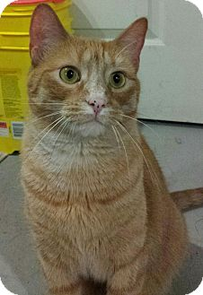 Domestic Shorthair Cat for adoption in Port Huron, Michigan - Amber