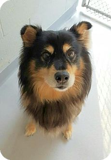 Collie/Husky Mix Dog for adoption in Lafayette, New Jersey - Roxie