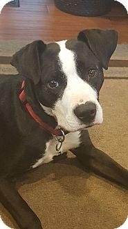 Labrador Retriever/Boxer Mix Dog for adoption in WESTMINSTER, Maryland - Mason