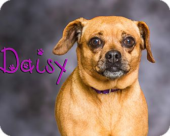 Pug/Dachshund Mix Dog for adoption in Somerset, Pennsylvania - Daisy